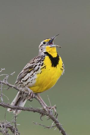 Western Meadow Lark Singing by Ken Archer