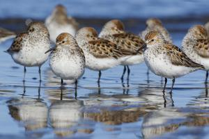 Western sandpipers, resting during spring migration by Ken Archer