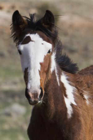 Wild Horses. Young Colt, Steens Mountains, Oregon by Ken Archer