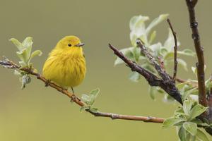 Yellow Warbler by Ken Archer