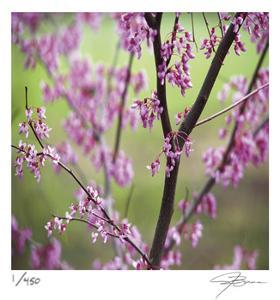 Tree Blossoms by Ken Bremer