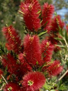 Red Flowers of the Native Bottle Brush Bush, a Wild Flower of Australia, Pacific by Ken Gillham