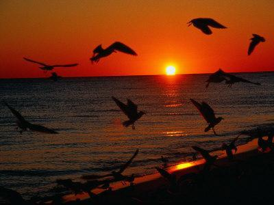 Seagulls FLying Over the Beach at Sunset, FL