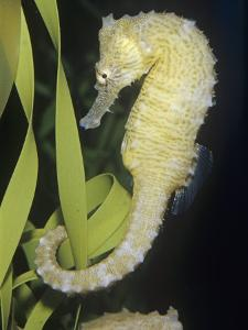 Seahorse (Hippocampus). Caribbean to South Pacific by Ken Lucas