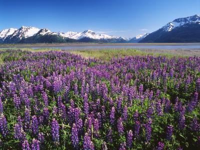 Kenai National Wildlife Refuge, Lupines in Bloom and Kenai Mountains, Alaska, USA-Adam Jones-Photographic Print
