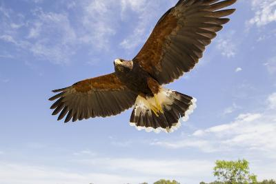 Kendall County, Texas. Harriss Hawk Landing, Captive Bird-Larry Ditto-Photographic Print