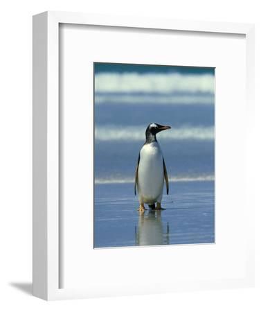Gentoo Penguin, Falklands