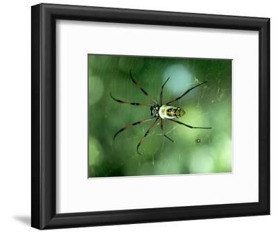 Golden Orb-Web Spider, Madagascar
