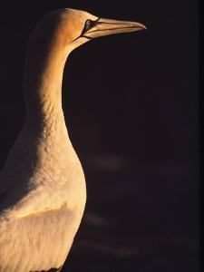 A Portrait of a Cape Gannet by Kenneth Garrett