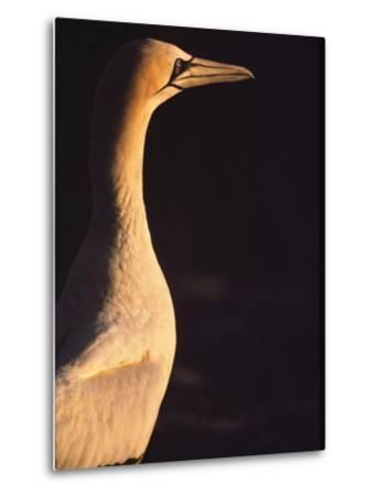 A Portrait of a Cape Gannet