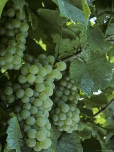 Chardonnay Grapes on the Vine, Washington by Kenneth Garrett
