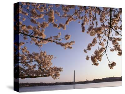 Cherry Blossoms Frame a View of the Washington Monument