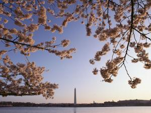 Cherry Blossoms Frame a View of the Washington Monument by Kenneth Garrett