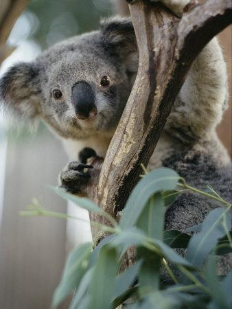 Close View of a Koala Bear