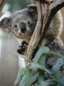 Close View of a Koala Bear by Kenneth Garrett