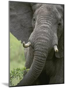 Close View of an African Elephant by Kenneth Garrett