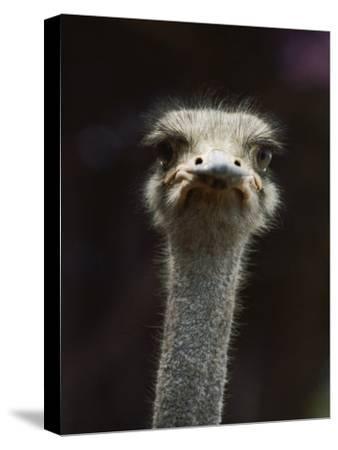 Close View of an Ostrichs Head