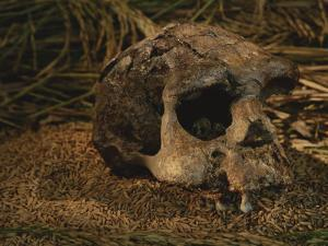 Close View of the Fossilized Skull of a Homo Erectus Found in Java by Kenneth Garrett