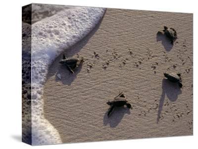 Endangered Greenback Turtle Hatchlings Entering the Sea, Yucatan, Mexico