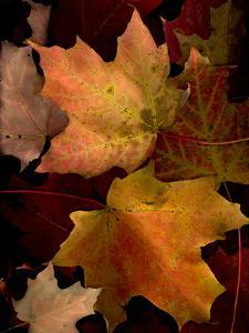 A Group of Maple Leaves in Fall Colour by Kenneth Ginn