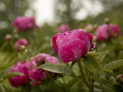 Red Peonies after a Summer Rain Shower