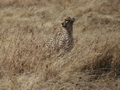 A Camouflaged Cheetah Sits Alone in a Field of Tall Grass in Serengeti National Park by Kenneth Love