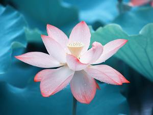 Blooming Lotus Flower by kenny001