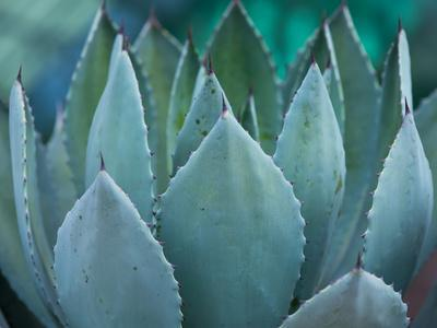 Macro of Succulent Plant in the Desert