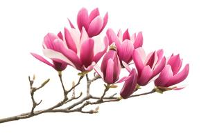 Magnolia Flower Spring Branch Isolated on White Background by kenny001