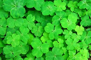 Three Shamrock Leaves in a Clover Patch by kenny001