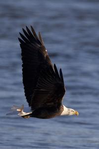 A Bald Eagle Flying with a Fish in It's Talons That It Has Just Caught by Kent Kobersteen