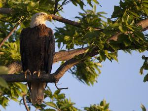 A Bald Eagle, Haliaeetus Leucocephalus, in a Tree at Sunrise by Kent Kobersteen