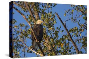 A Bald Eagle, Haliaeetus Leucocephalus, Perches in a Tree Near the Occoquan River by Kent Kobersteen