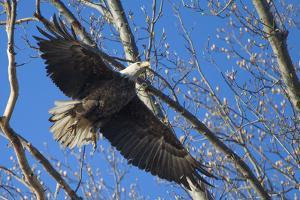 A Bald Eagle Takes Flight from a Tree Top in Spring by Kent Kobersteen