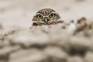 A Burrowing Owl, Athene Cunicularia, Near its Burrow by Kent Kobersteen