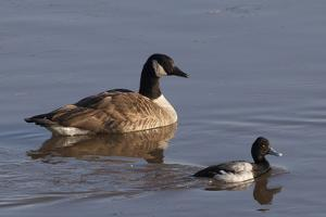 A Canada Goose, Branta Canadensis, and a Smaller Male Lesser Scaup Duck, Aythya Affinis, Swimming by Kent Kobersteen