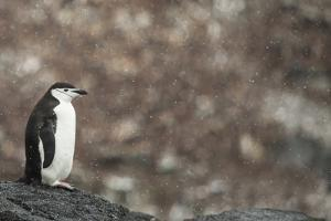 A Chinstrap Penguin, Pygoscelis Antarctica, in a Light Snow Shower by Kent Kobersteen