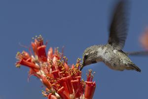 A Female Anna's Hummingbird Gathers Nectar the Flowers of an Ocotillo+A523 by Kent Kobersteen