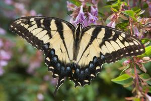A Female Eastern Tiger Swallowtail Butterfly, Papilio Glaucus, Sips Nectar from a Flower by Kent Kobersteen