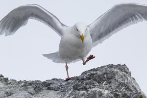 A Glaucous Gull, Larus Hyperboreus, on a Rock Near its Nest by Kent Kobersteen