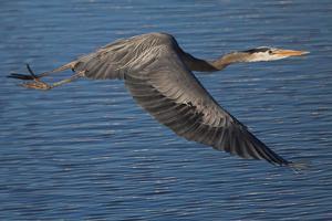 A Great Blue Heron, Ardea Herodias, in Flight over the Occoquan River by Kent Kobersteen