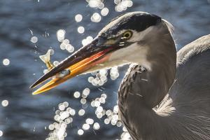 A Great Blue Heron, Ardea Herodias, with a Freshly Caught Fish by Kent Kobersteen