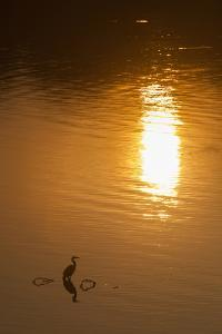 A Great Blue Heron Stands Silhouetted at Sunrise on the Occoquan River by Kent Kobersteen