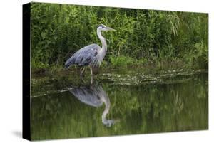 A Great Blue Heron Wades at the Edge of a Pond Near the Occoquan River in Northern Virginia by Kent Kobersteen