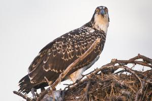 A Juvenile Osprey on a Nest at Sunset on the Occoquan River in Northern Virginia by Kent Kobersteen