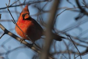 A Male Northern Cardinal, Cardinalis Cardinalis, Basks in Light at Sunset by Kent Kobersteen
