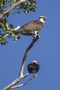 A Pair of Ospreys, Pandion Haliaetus, Perched on the Branch of a Tree by Kent Kobersteen