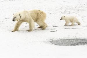 A Polar Bear, Ursus Maritimus, and Her Cub. the Mother Bear Wears a Radio Tracking Collar by Kent Kobersteen