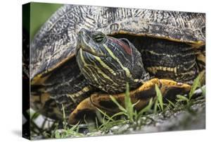 A Red-eared Slider, Trachemys scripta elegans, on the move. by Kent Kobersteen