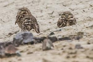 A Trio of Burrowing Owls, Athene Cunicularia, Near their Burrow by Kent Kobersteen